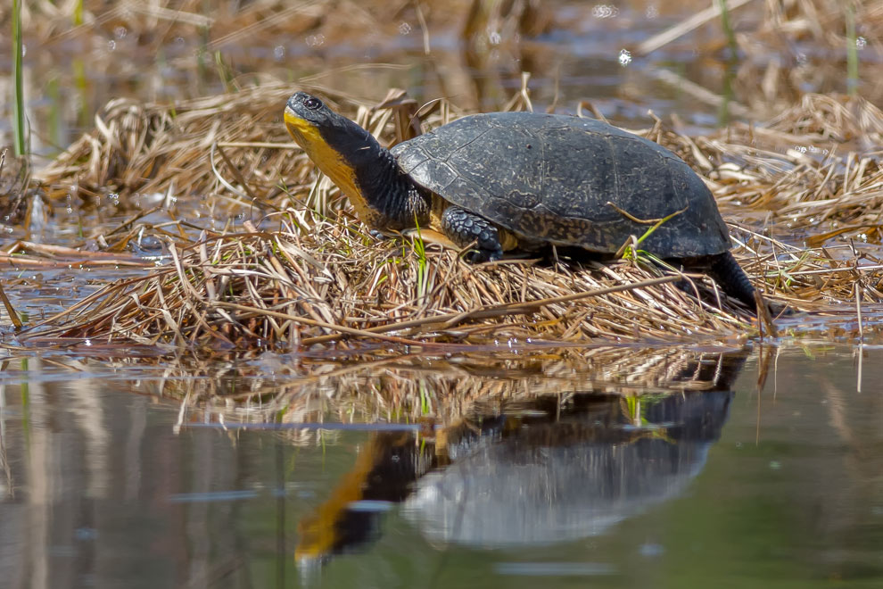 Blanding turtle at the edge of Feedmill Creek near the Carp River in Kanata.