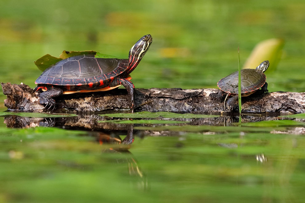 Two painted turtles. Discover nature and things to do outside in Manotick near Mahogany.
