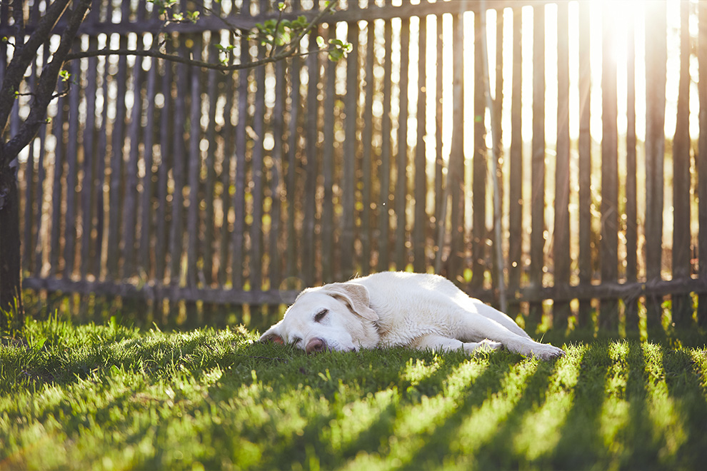 A sleepy dog dozes in the backyard and sun shines through the slats of the wooden fence.